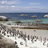 Penguins in Capetown