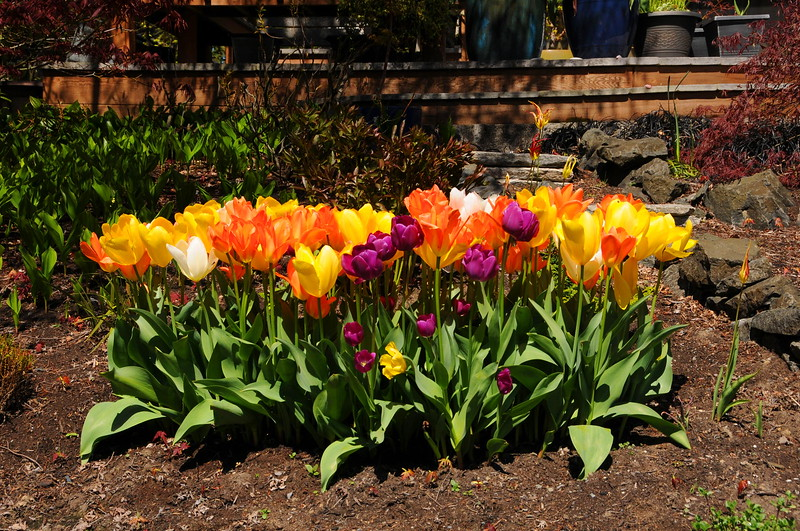 Tulip Display, Spring, 2017