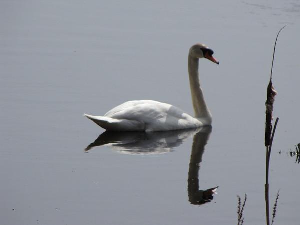 Squam Swan