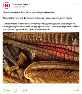 Детализированное фото части тела сибирской кобылки (Gomphocerus sibiricus).