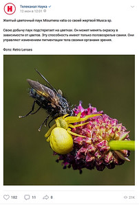 Желтый цветочный паук Misumena vatia со своей жертвой Musca sp.