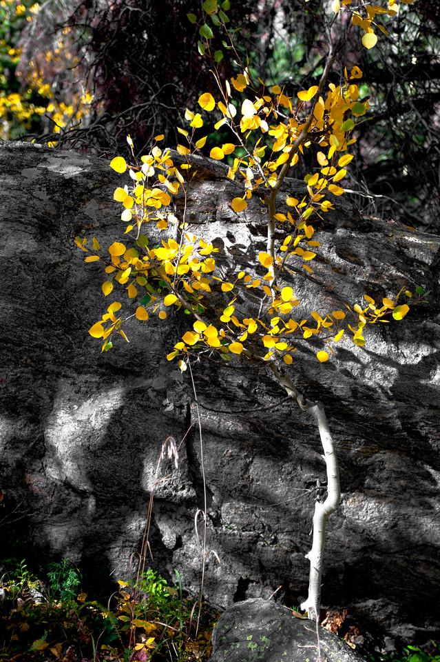 Aspen Tree, Rocky Mountain National Park, Colorado