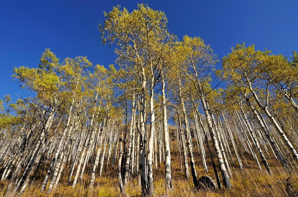 Aspen Trees, Piney Lake area, Vail, CO