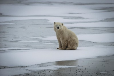 Polar Bears-Churchill-Canada