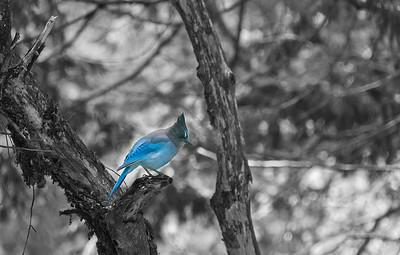 Blue Jay, Yosemite NP
