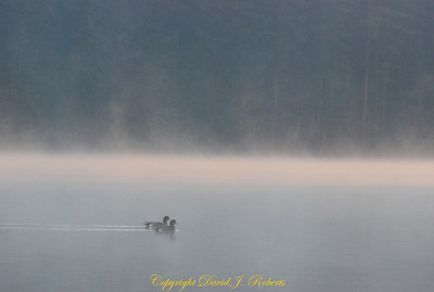 Ducks in the morning mist, Lake Padden Park, Bellingham WA