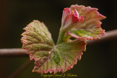 Grape leaves budding out in spring