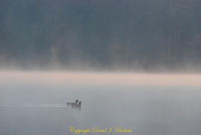 Ducks in the morning mist, Lake Padden Park, Bellingham WA
