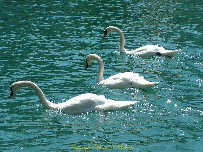 Swans on the Thun River, Switzerland