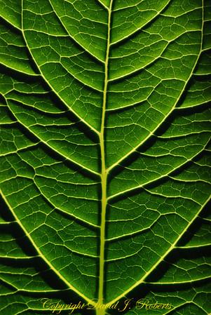The ribs of a back-lit leaf