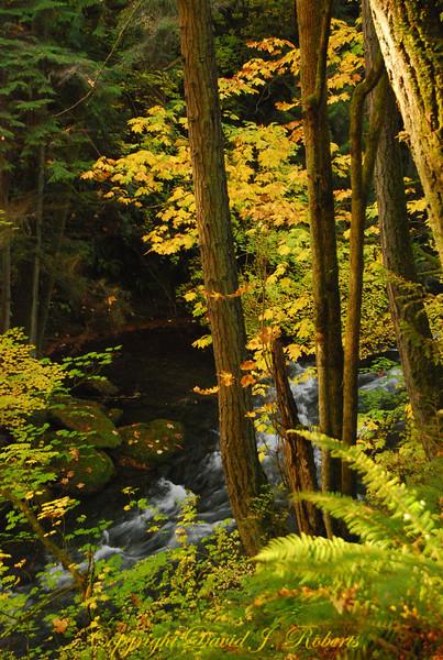 Autumn forest and Whatcom Creek, Whatcom Falls Park, Bellingham WA