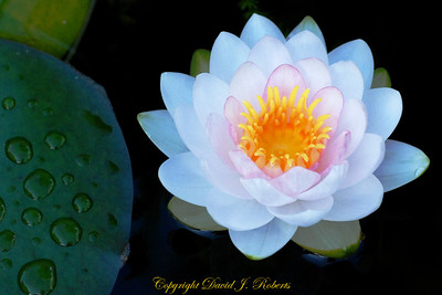 Our water lillies have been stunning in our pond. This one seems to be quietly waiting for the world to calm down.