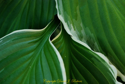Calla Lily leaves in our garden looking sexy and green