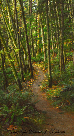 Trail through alder stand in Stimson Forest near Bellingham, WA  November, 2012.  Enhanced image with HDR.