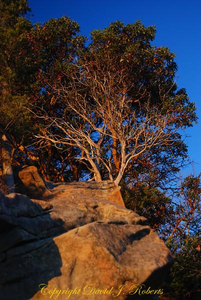 Old Tree at Clayton Beach