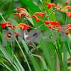 Bill McAllen Hummingbird with Crocosmia Flowers