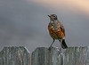 American Robin (Immature)