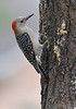 Red-bellied Woodpecker (Female)<br /> <br /> The woodpeckers, and other birds, really like the Suet I put on the tree bark.  I use Lard, Peanut Butter, Cornmeal and Oatmeal to create the suet.
