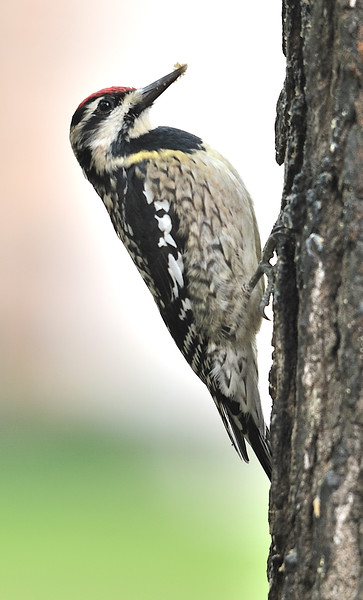 Yellow-bellied Sapsucker (Female)