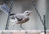 Northern Mockingbird (Immature)