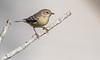 Pine Warbler 9female)