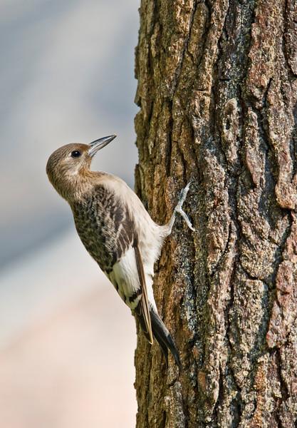 Red-headed Woodpecker (Immature)