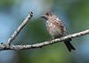 Eastern Bluebird (Immature)