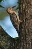 Red-bellied Woodpecker (Immature Male)