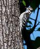 Downy Woodpecker (Imamture Male)
