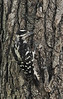 Downy Woodpecker (Female)