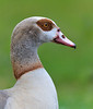 Egyptian Goose<br /> <br /> I photographed this goose in the front yard of a house in my neighborhood.  I'm not sure where it came from but it did not seem afraid as I photographed it from about 15 - 20 feet away.