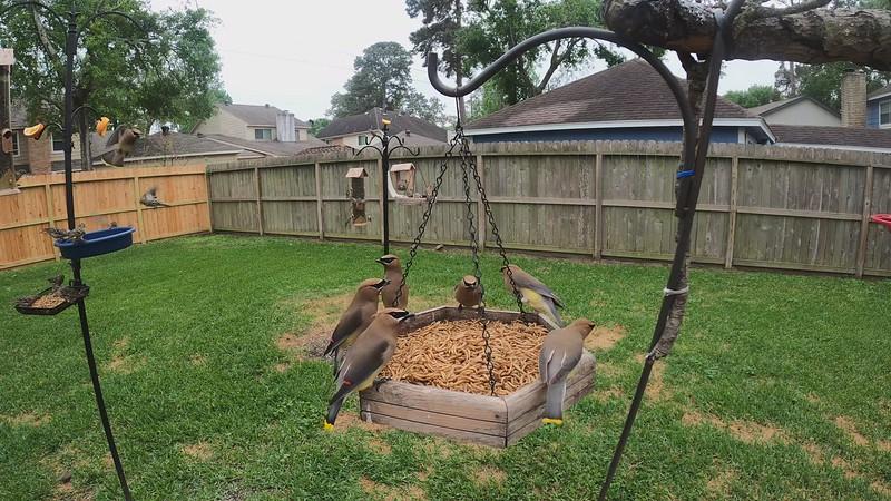 Cedar Waxwings feeding on Mealworms