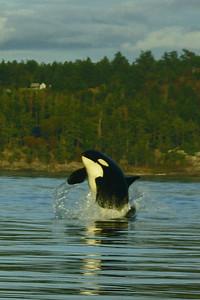 Orca breach, San Juan Island