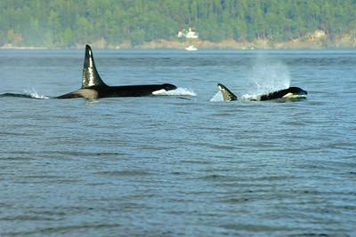 Orcas, SanJuan Island, WA