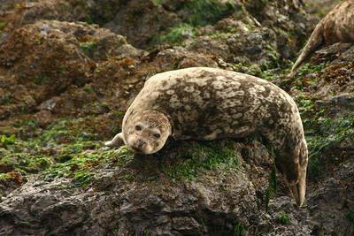 Seal, San Juan Island