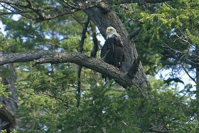 Bald eagle, San Juan Island