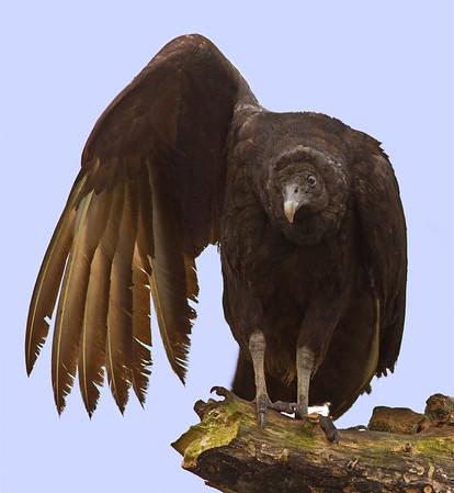Vulture in Florida Everglades
