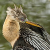 Anhinga in Florida Everglades