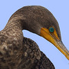 Cormorant in Florida Everglades