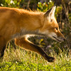 fox hunting in PEI National Park