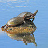 Turtles basking in the sun at Petrie Island