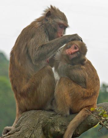 Monkeys grooming in Kam Shan Country Park Hong Kong