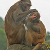 Monkeys grooming in Kam Shan Country Park Hong Kong