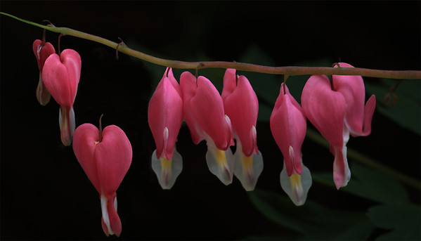Bleeding Hearts in our front yard.