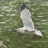 A segull in Hog's Back Park