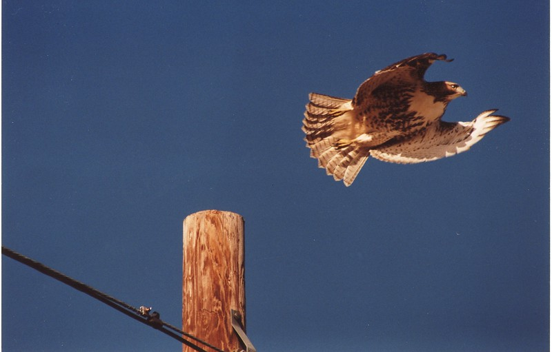 This was a red tailed hawk I saw coming back from Bedford on Rte 220.  I paused and waited, and was rewarded with him springing from the telephone pole.