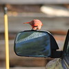 This cardinal had a good time with the mirror of my truck.  What entertainment I am blessed with!!
