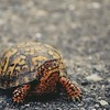 """Saffron was the first spring box turtle after Christo's """"Gates of Central Park.""""  His coloring matches the gates, hence the name."""