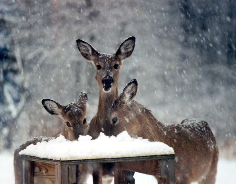 In our early years on our Cumberland property we feed the deer, hence the table.  Corn was out, now covered in snow and they knew the snow was ending.