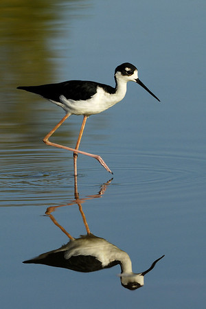 Black-necked Stilt Himantopus mexicanus, Gilbert Water Ranch, Gilbert AZ